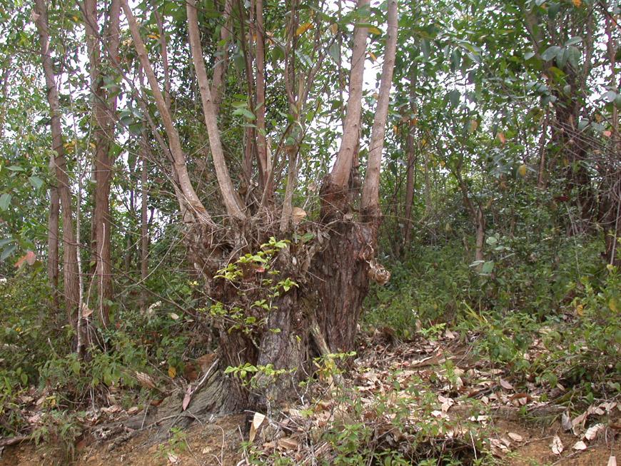 Rejets d'eucalyptus