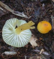 Les lames blanches de ces hygrocybes à chapeau jaune s'écrasent sous le doigt
