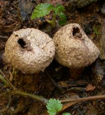 De vieux lycoperdons : ils ont déjà leurs spores dispersées par l'ostiole