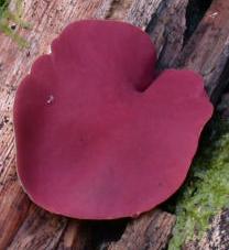 Phillipsia carminea, un des plus grands ascomycètes de la région d'Andasibe, mesure parfois plus de 5 cm de diamètre