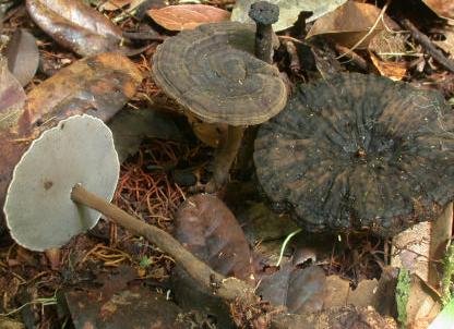 Un superbe Amauroderma, à chapeau sombre zoné-ridé, hyménium gris souris et fine bordure blanche ; son pied est profondément enfoncé dans le sol