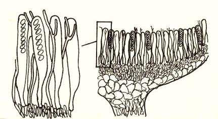 Asques (ici avec 8 spores) et paraphyses fourchues garnissent la partie fertile desascomycètes en forme de petite coupe, ici portée par un pied court