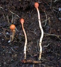 Un Cordyceps, curieux champignon qui parasite les insectes et leurs larves