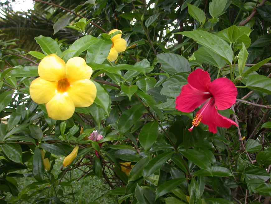 Alamanda et Hibiscus aux Orchidées