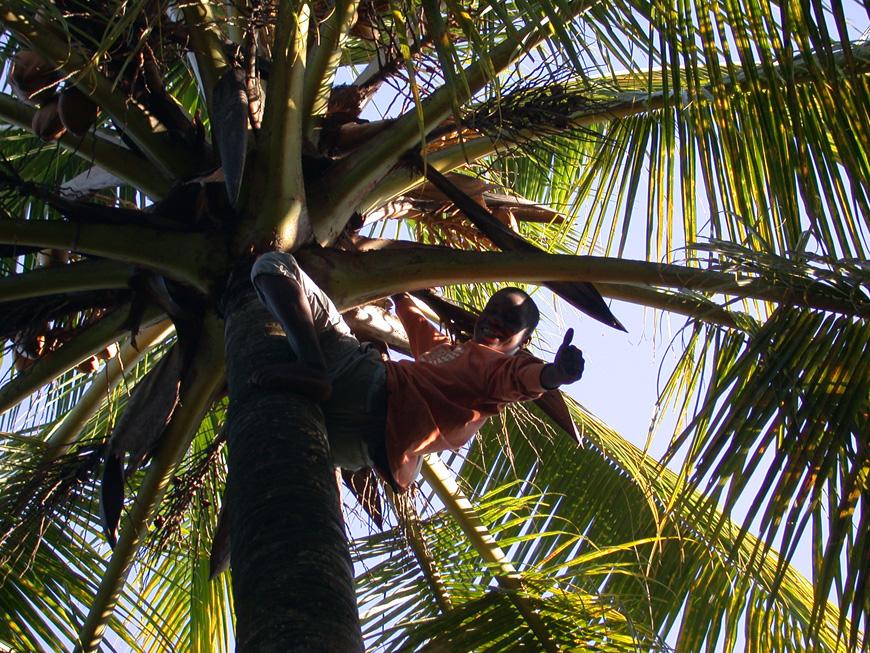 Paul au sommet du cocotier