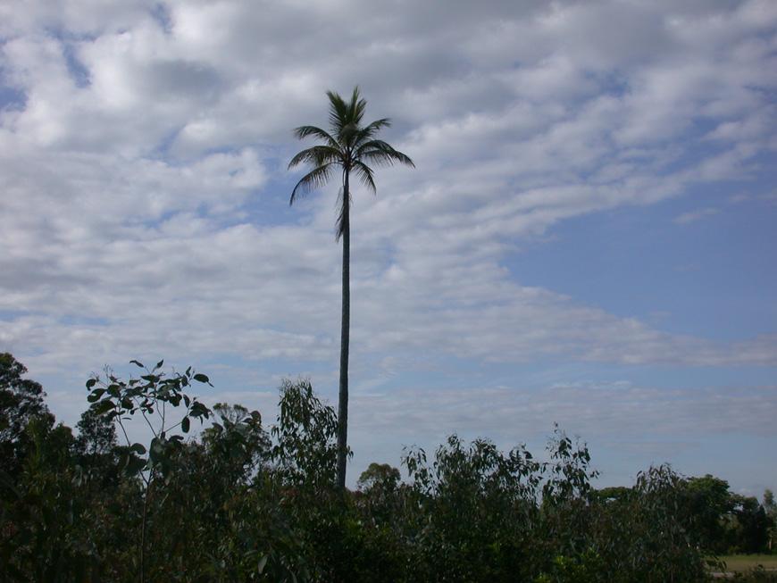 cocotier géant