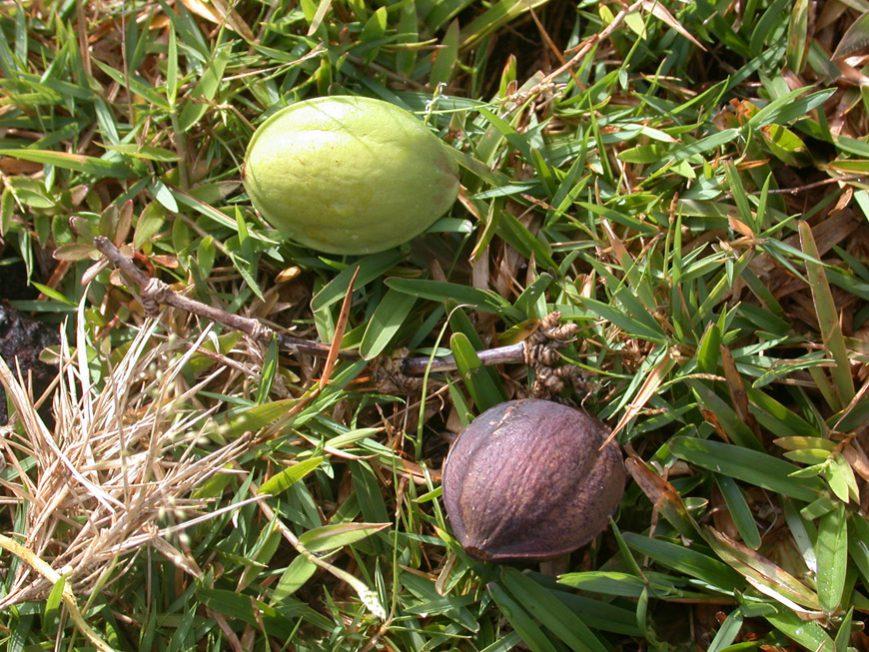 Les fruits du Terminalia