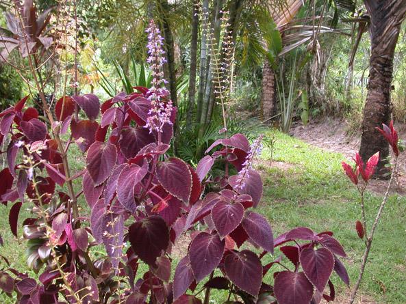 coleus au jardin
