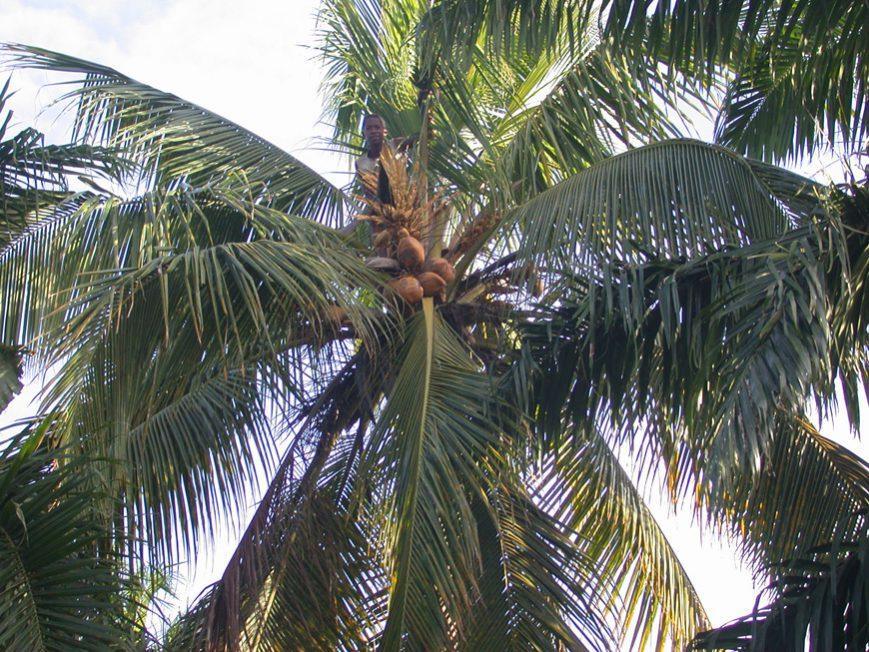 Evariste dans le cocotier