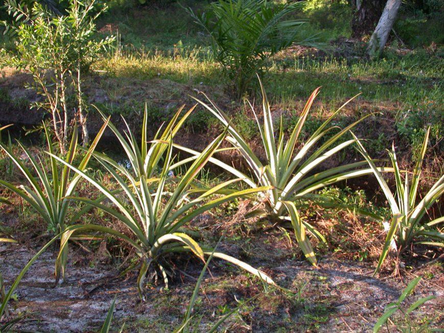 Les ananas plantés