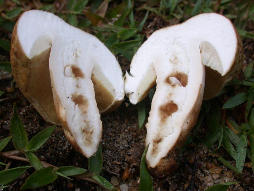 Gyroporus en coupe