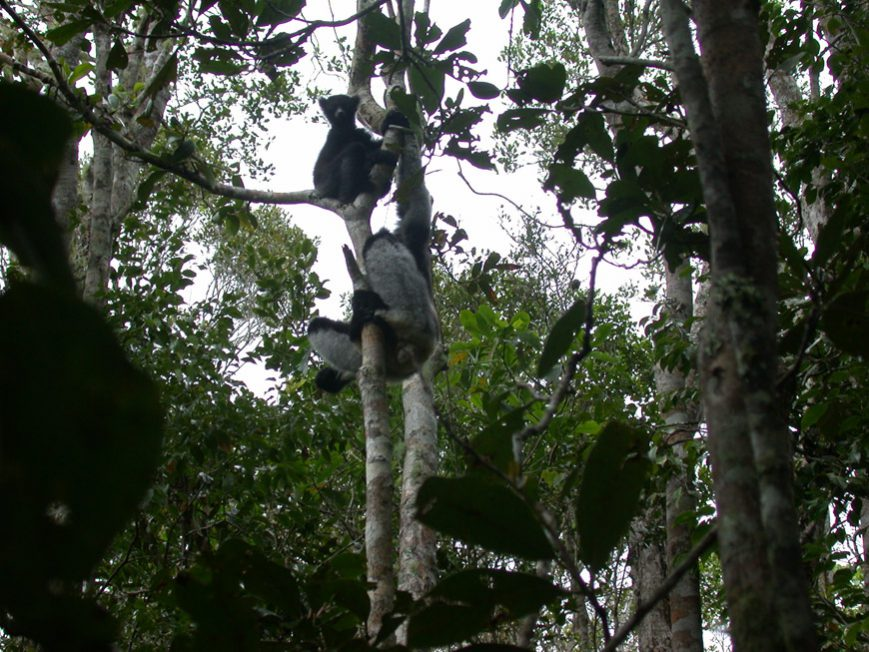 Indris à Andasibe