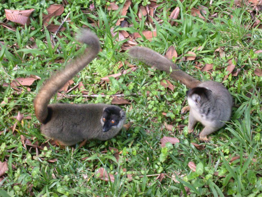 lémurs fulvus à Andasibe