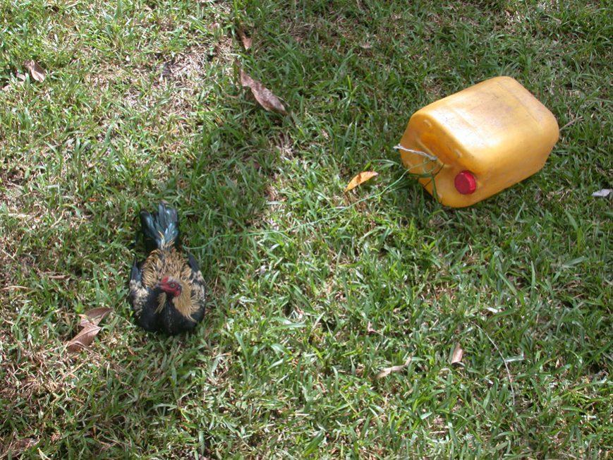 poulet reçu en cadeau